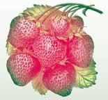 growing organic strawberry plants