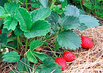 Recommended Strawberry Varieties For Canada Plants
