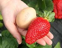 maximus strawberry variety