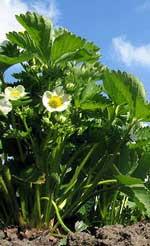 novelty strawberry plants