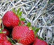 mulching strawberry plants in the summer