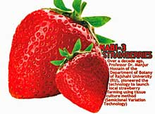 growing strawberries in bangladesh