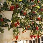 hydroponic strawberry farms