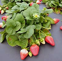 strawberries on the verge of helping diabetics