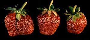 fairfax strawberries
