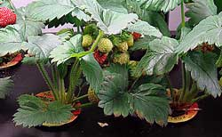 overwintering hydroponic strawberry plants