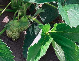 caring for strawberry plants in warm winters