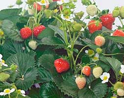 delizz strawberry plants