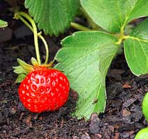 when do strawberry plants die