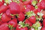 new strawberry varieties in development