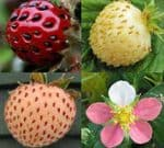 ancient strawberry plants