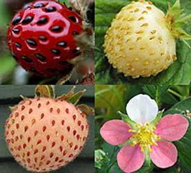 ancient strawberry plants