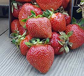 archer strawberry variety