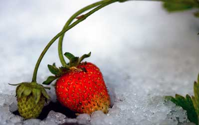 winterizing strawberry plants