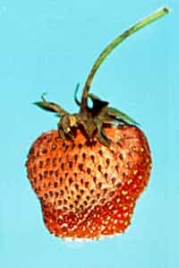 brown spots on strawberries