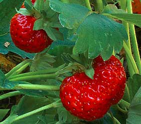 Strawberry Plants Information Org