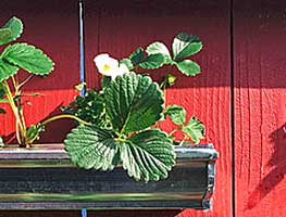 growing strawberries in gutters