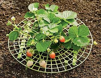 keep strawberries clean