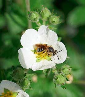 pollinating strawberry plants