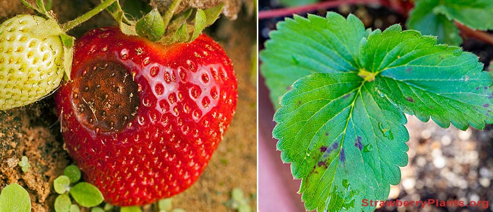 Anthracnose on strawberries