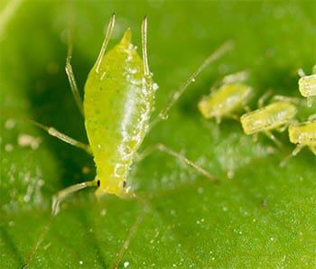 Aphids transmit viral diseases in strawberries
