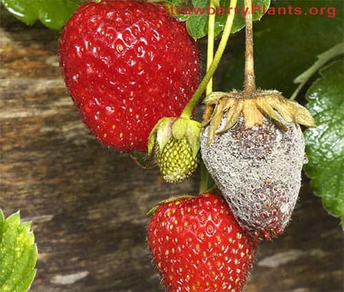 Bortrytis Fruit Rot on strawberries
