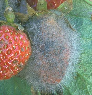 Mucor Fruit Rot on strawberry
