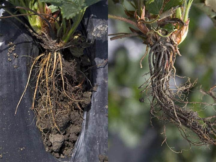 Strawberry roots infected with Phytophthora fragariae