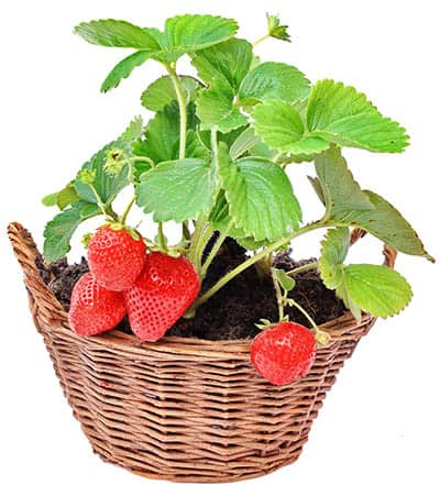 Everbearing strawberries in a basket