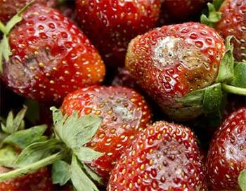 Moldy strawberries