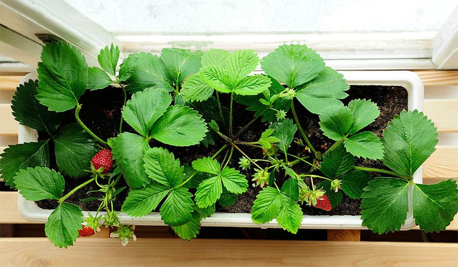 Window sill growing strawberries