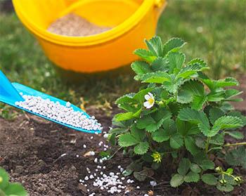 Strawberry fertilizer