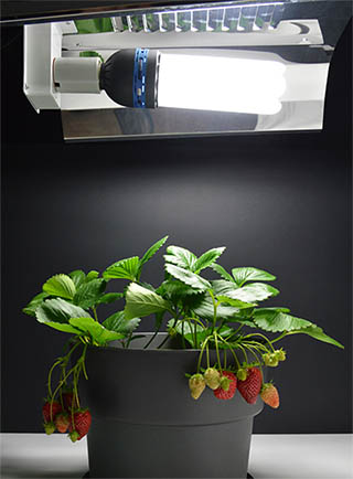 Strawberry growing lamp
